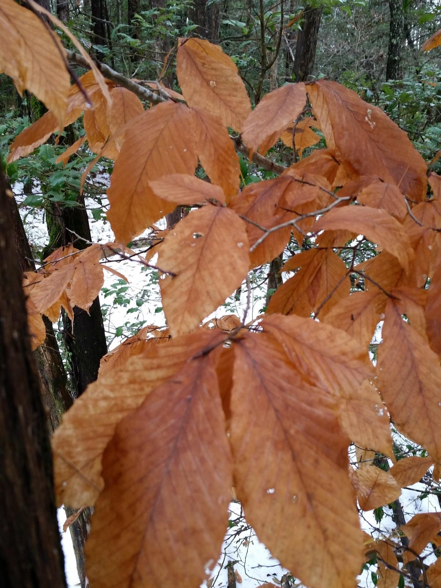 Beech leaves in winter.
