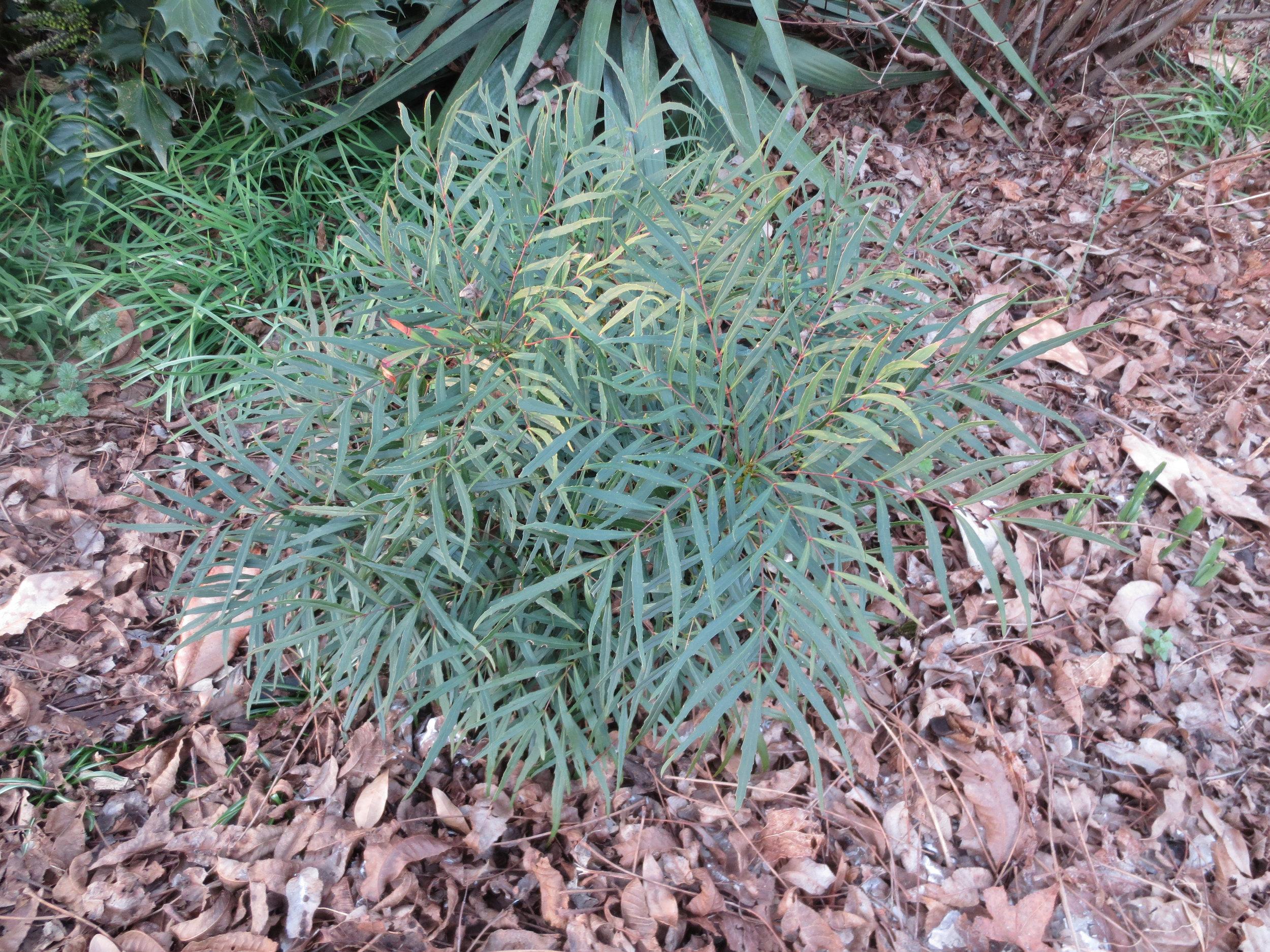 Mahonia eurybracteata Soft Caress.JPG
