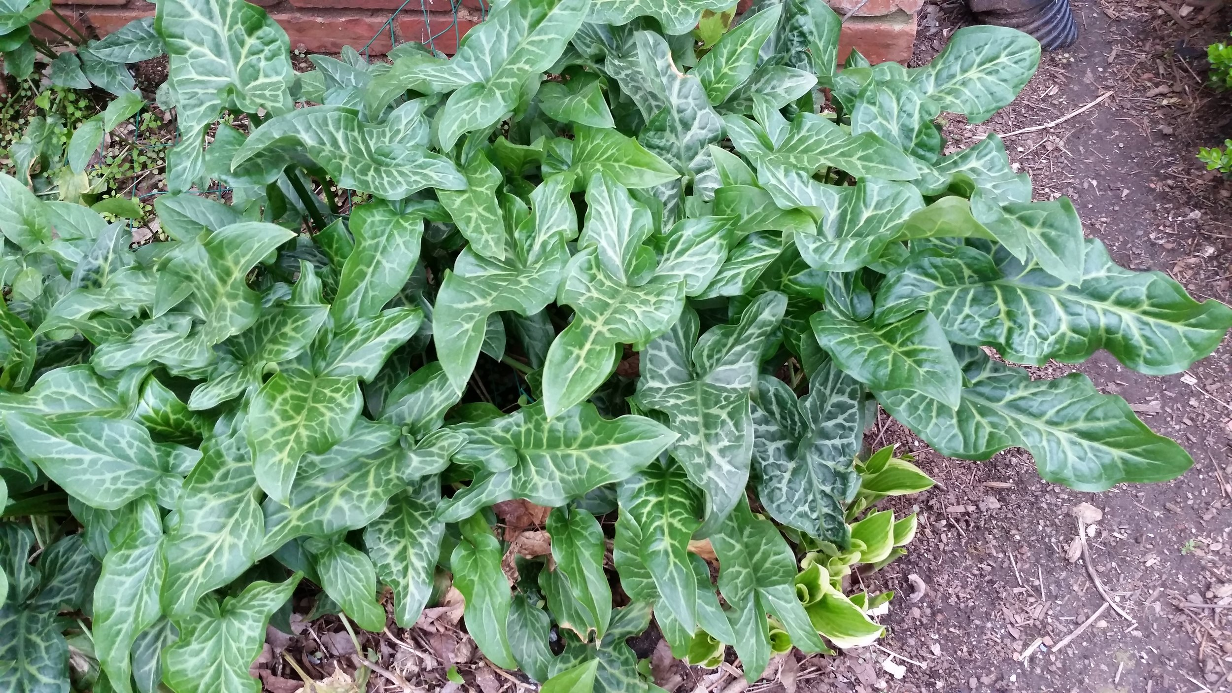 This photo of Arum was taken in early March, last year. Note the emerging hosta leaves at lower right.