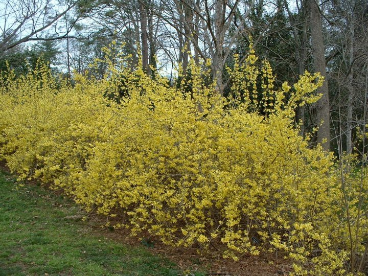 Forsythia hedge.jpg