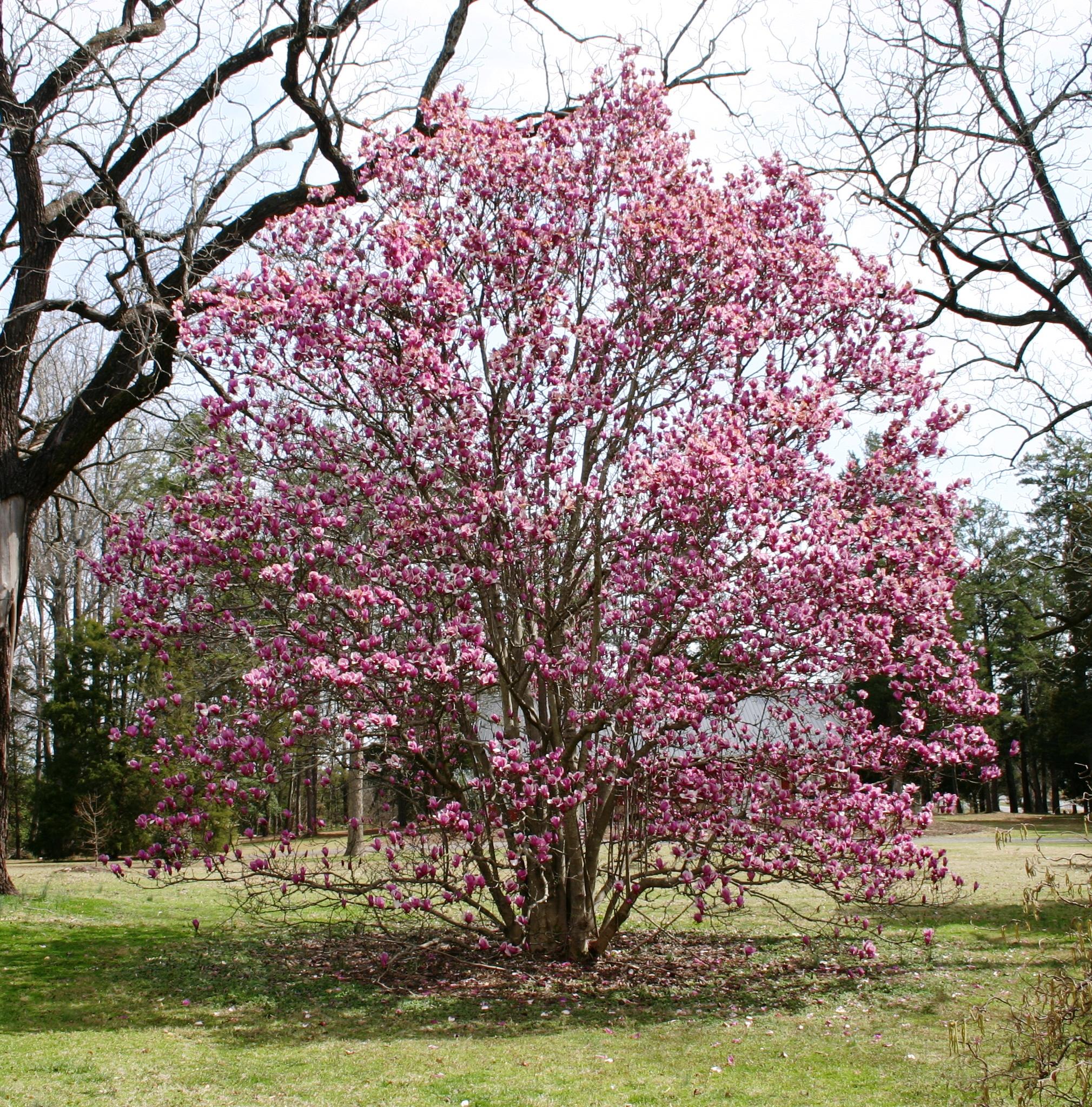 Mature Magnolia soulangeana.JPG