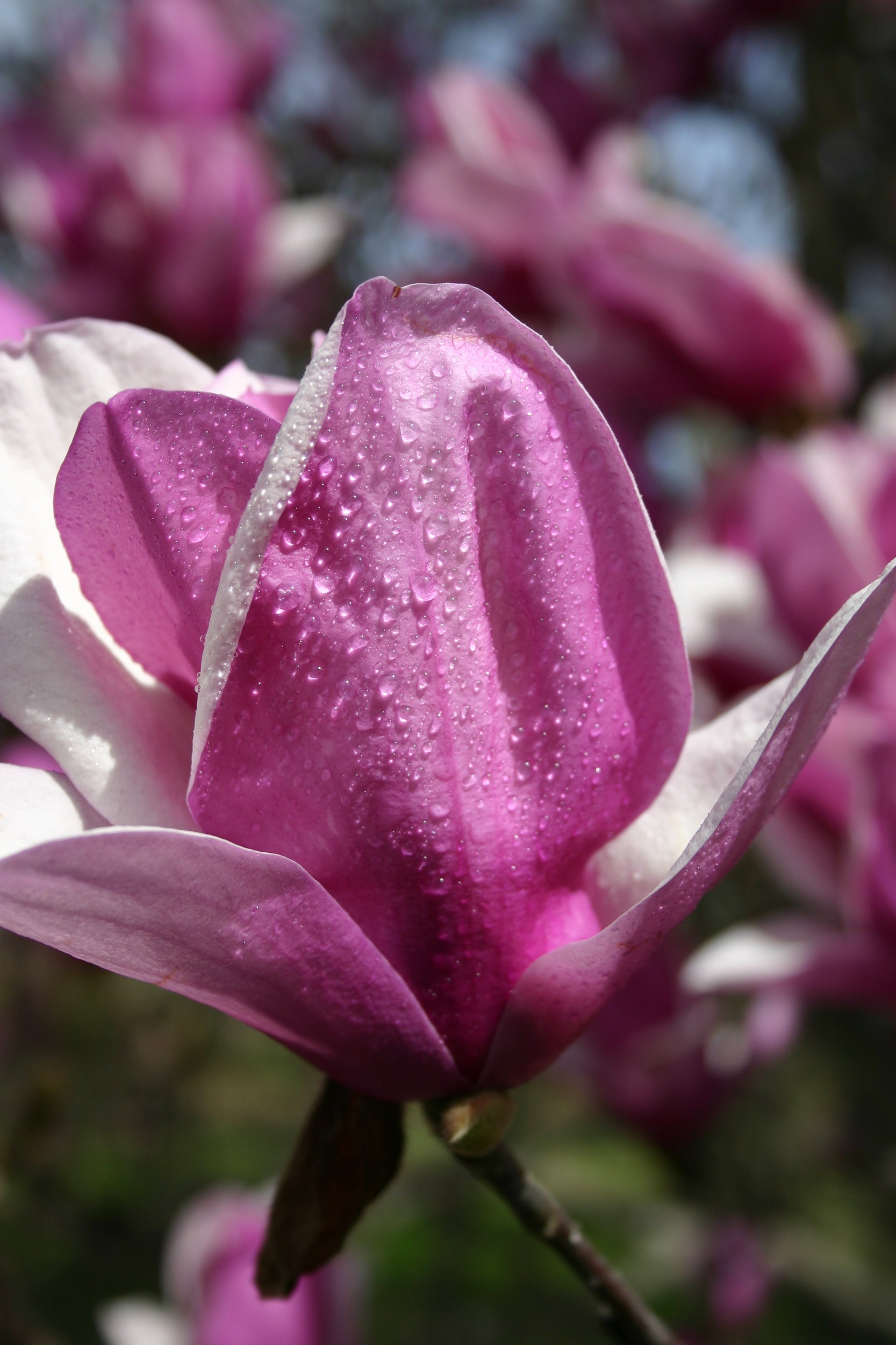 Magnolia soul bloom with dew.JPG