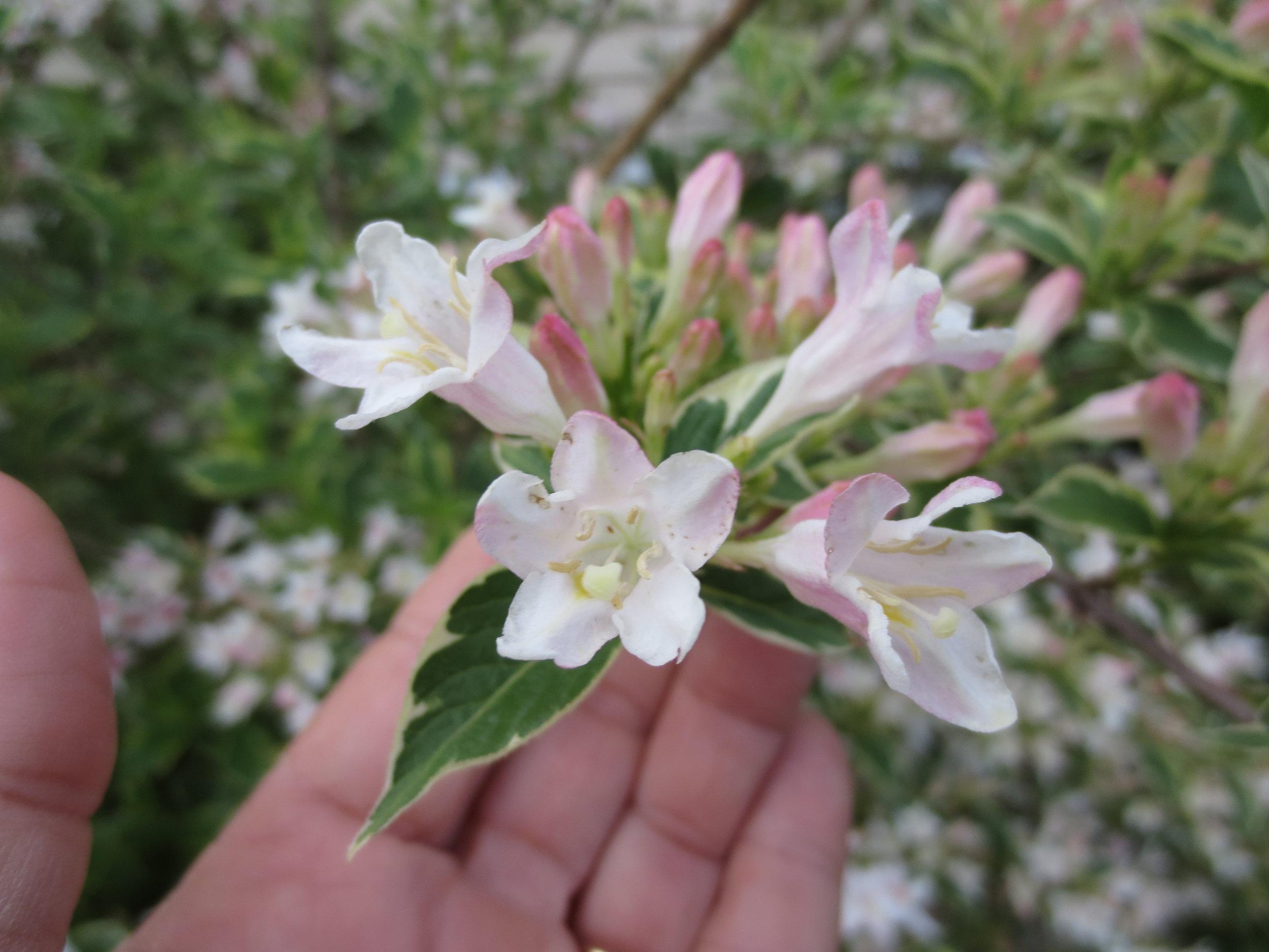 Weigela bloom.JPG