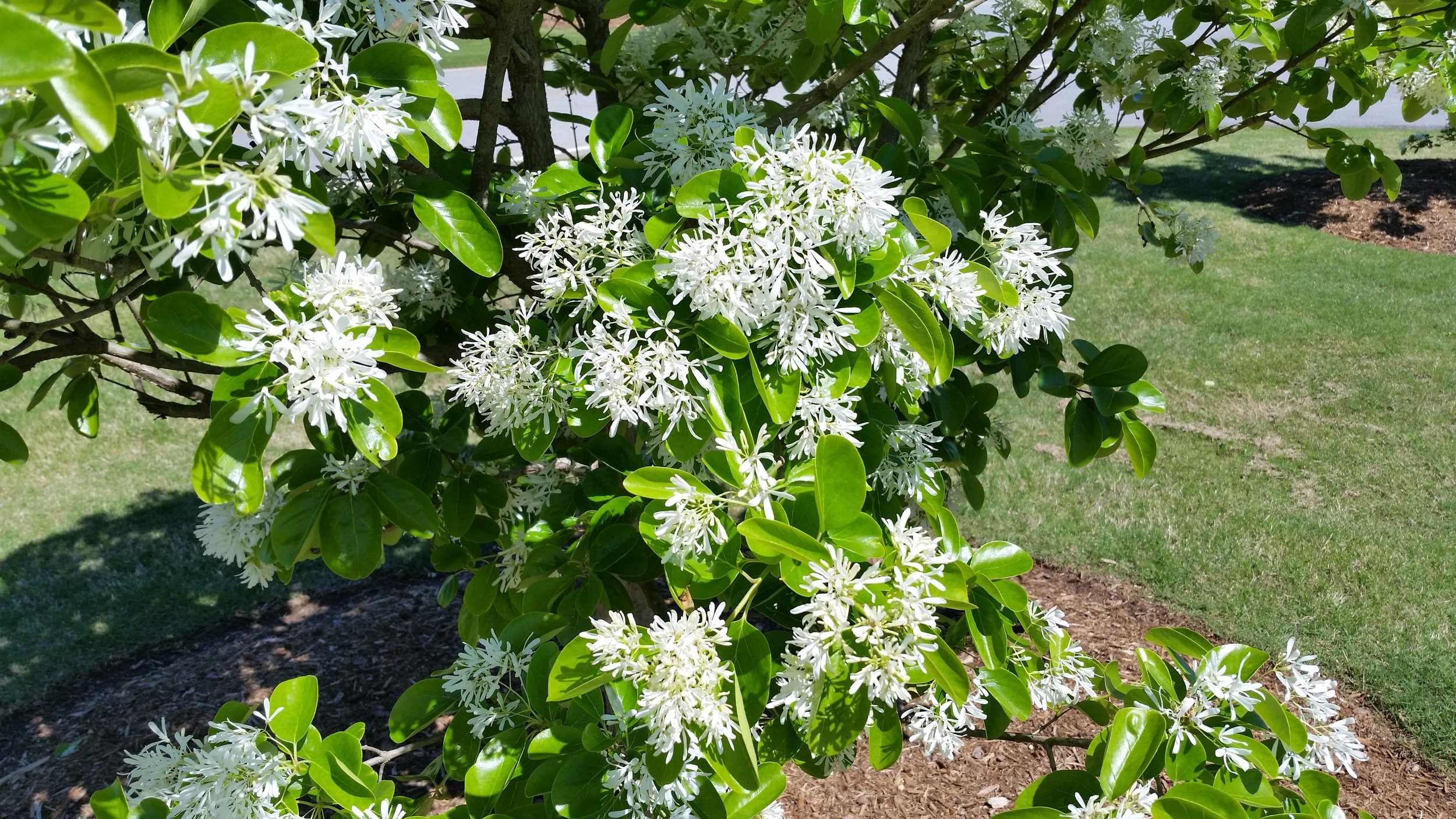 Chionanthus retusus  bloom