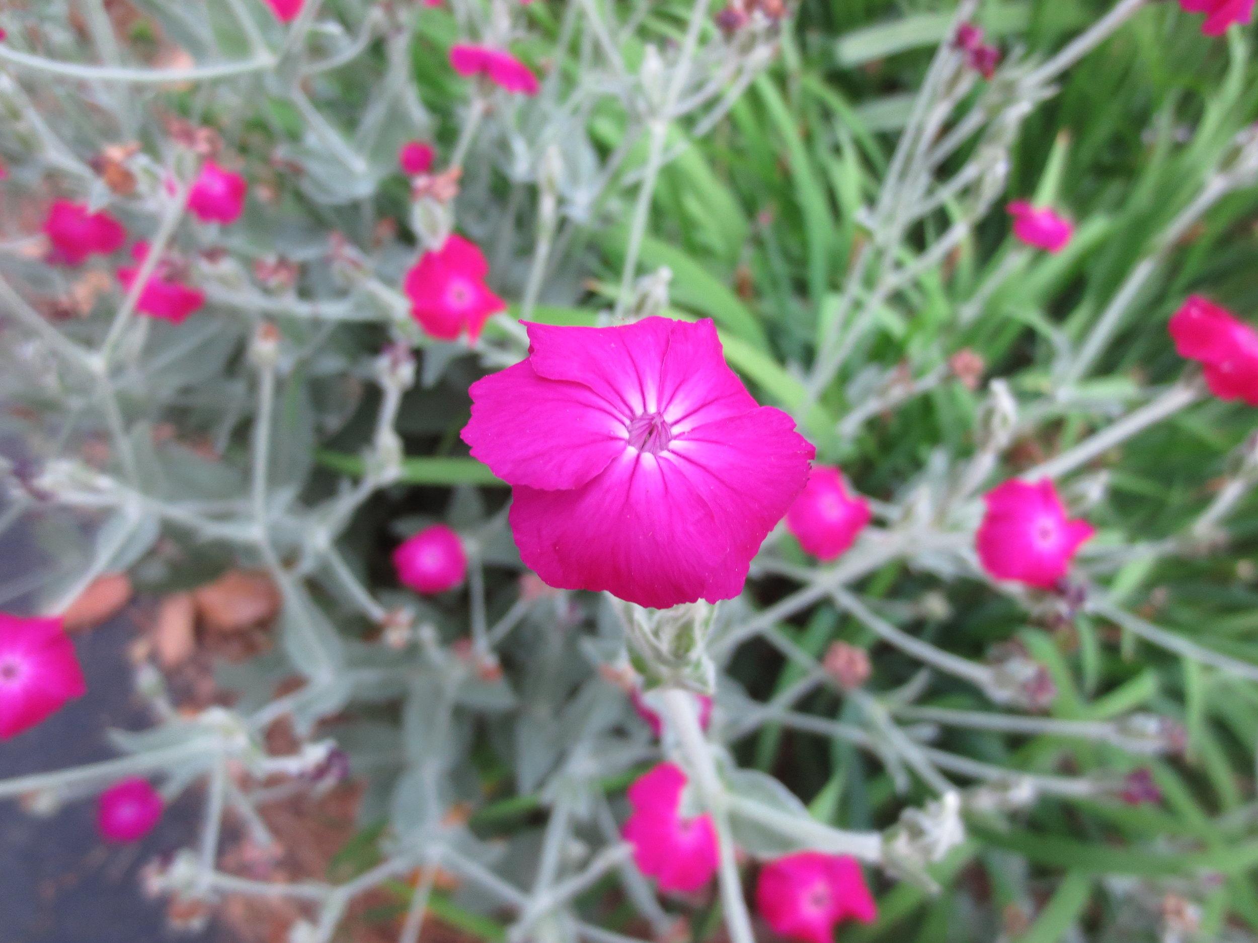 Magenta Rose Campion