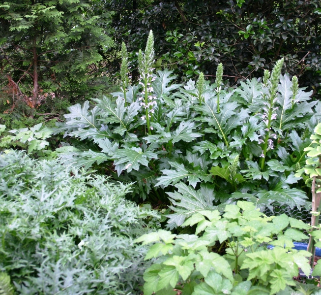 Acanthus spinosus  on left;  Acanthus mollis  on right.