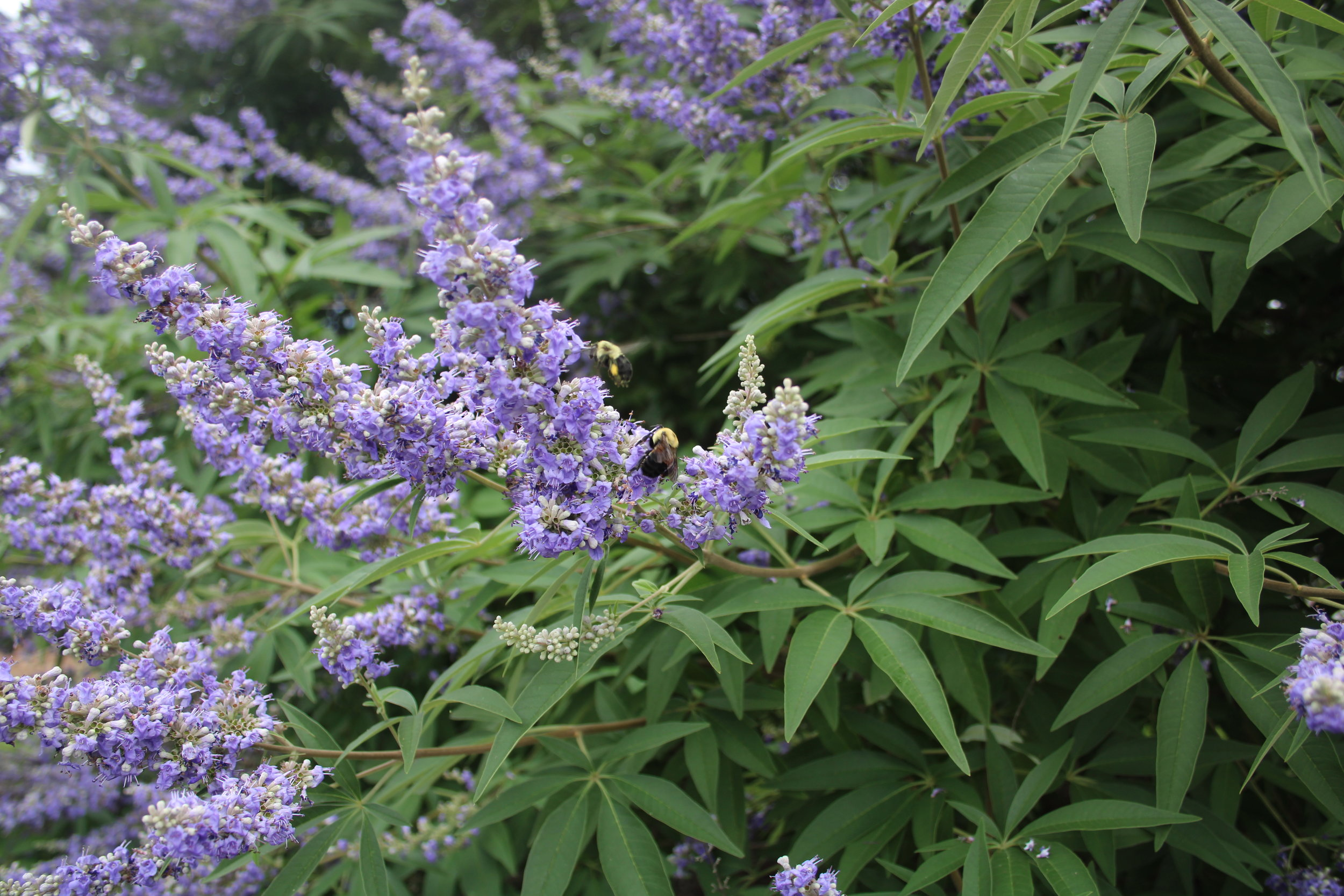 Bumblebees buzzing around the blooms of  Vitex angus-caste.