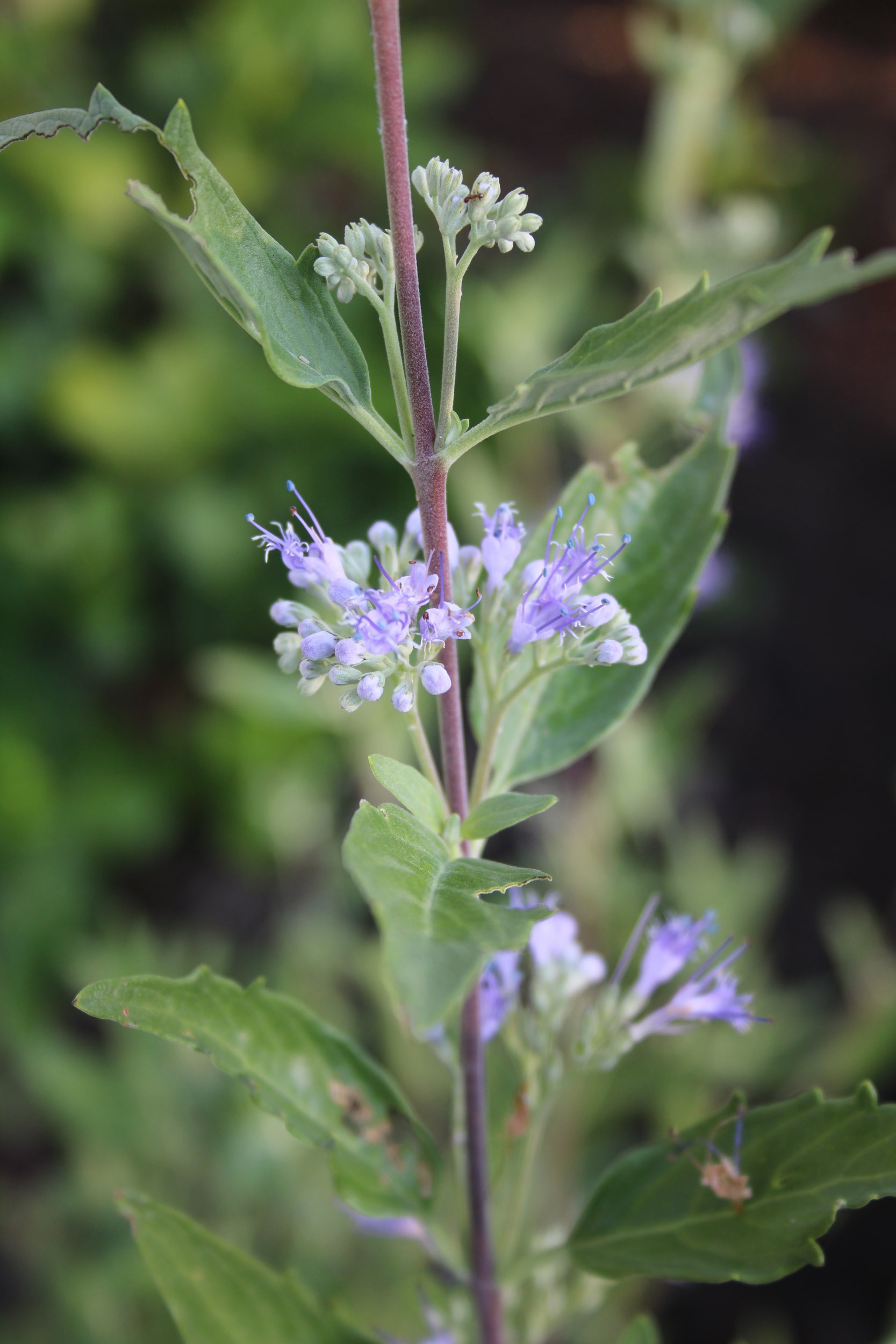 Clusters of tiny blue blooms form along the stems of Caryopteris.