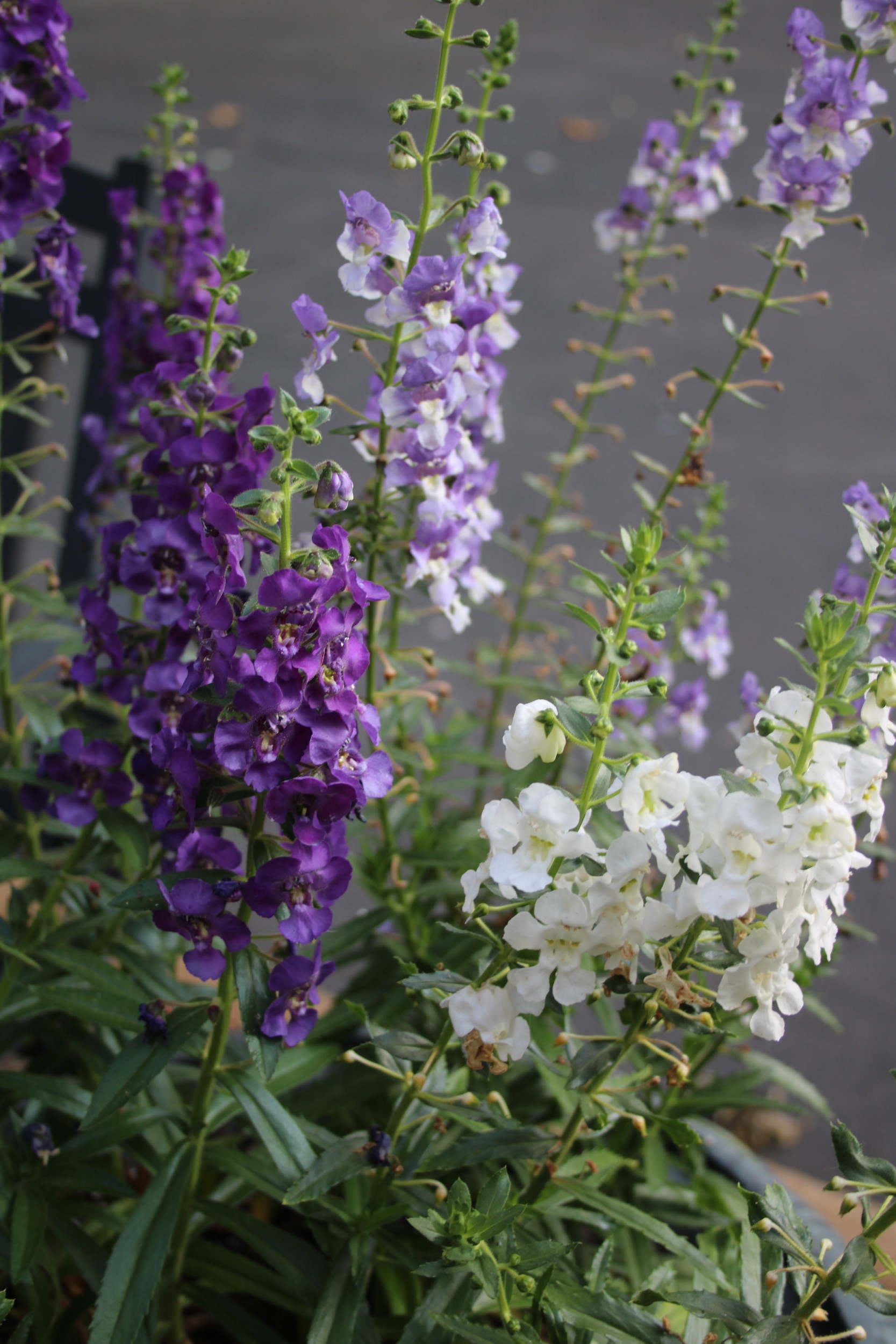 Purple, bicolor and white Angelonia.