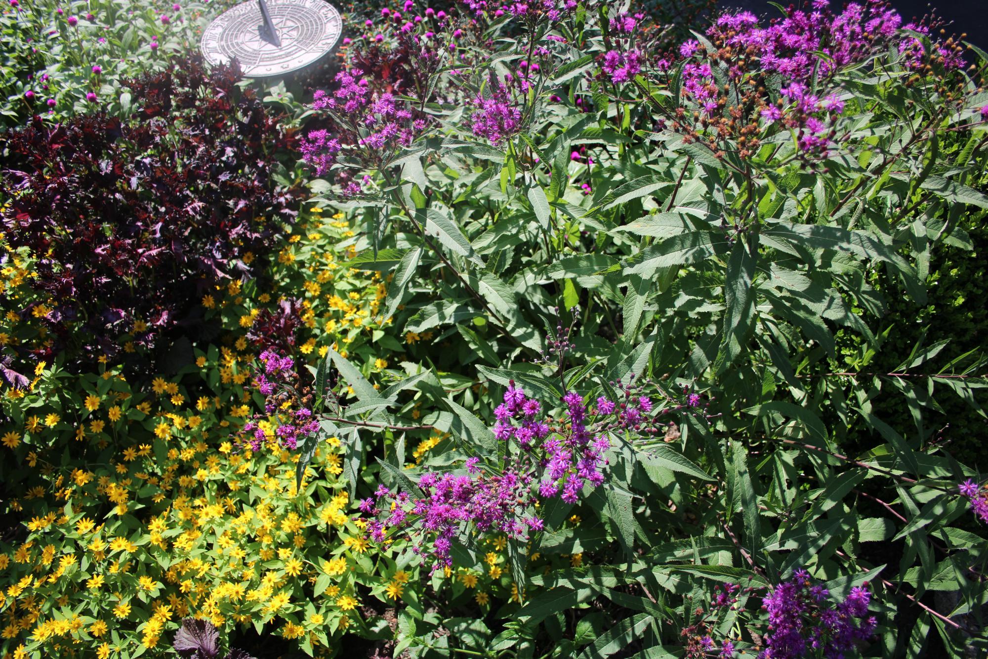Vernonia and Melampodium.jpg