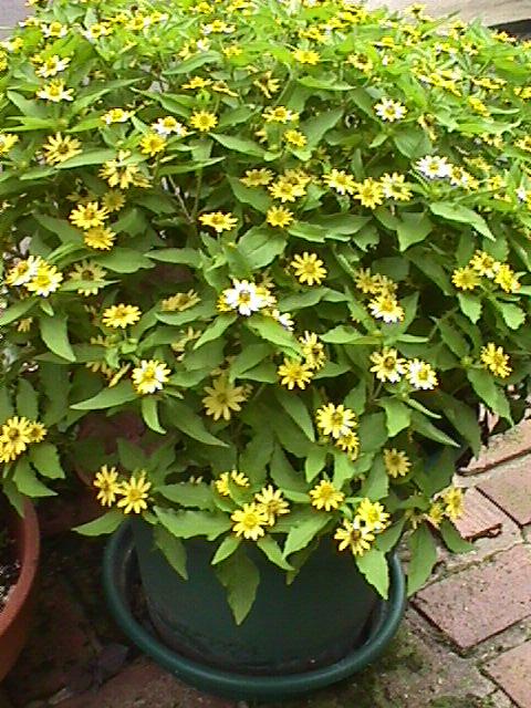 Melampodium in container (4 plants).