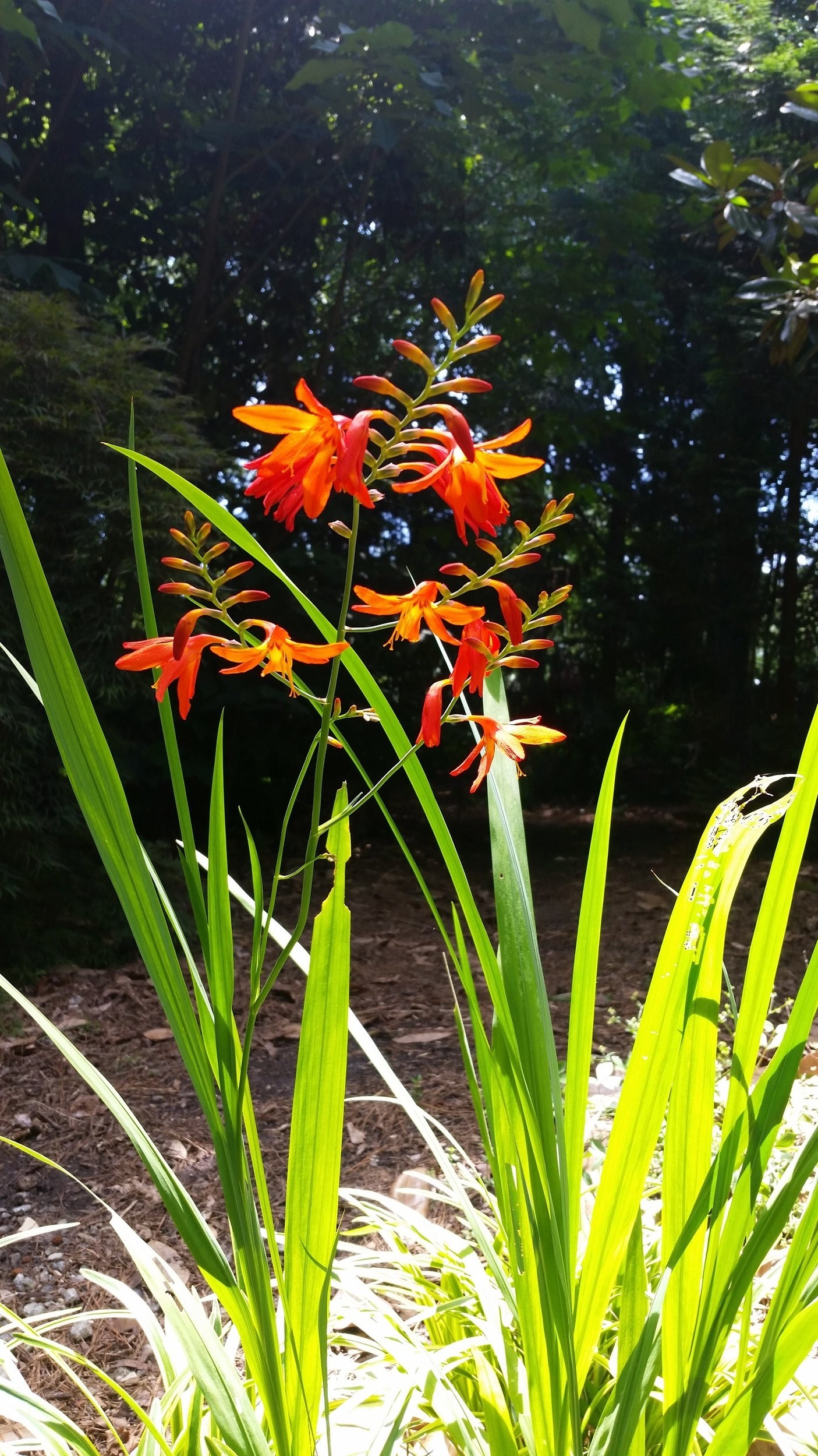 Orange Crocosmia glow when backlit by sunshine.