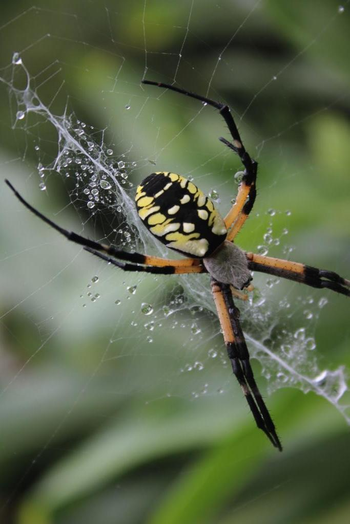 Argiope heads are covered with silvery hairs.