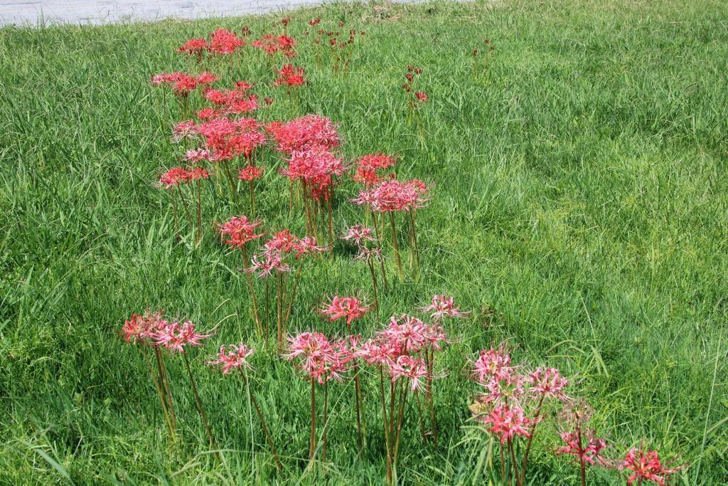 Lycoris have naturalized in an open meadow.