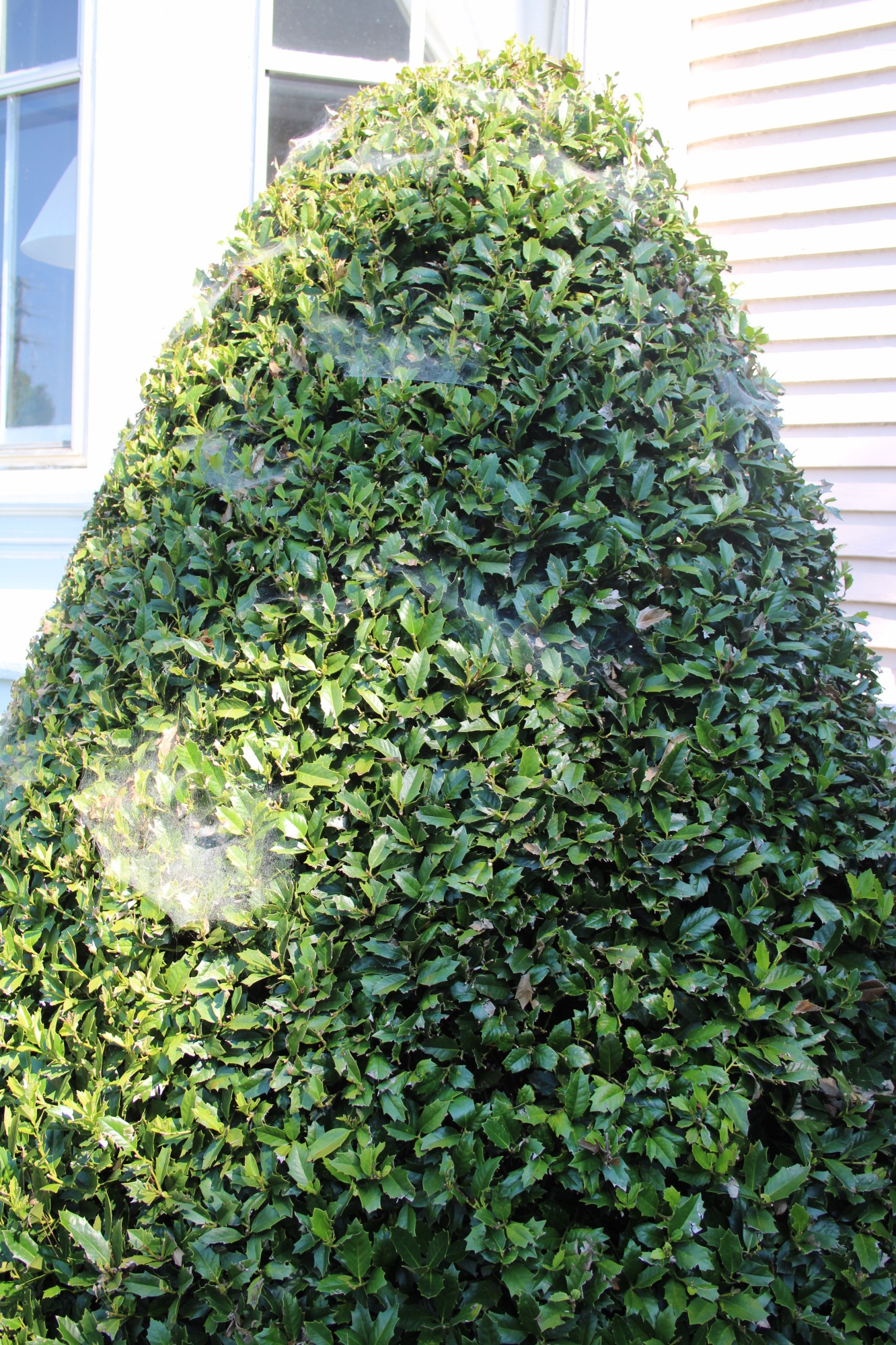 Spider mites on Holly ( Ilex)  are most obvious in the morning, before sun dries the dew clinging to the webs.