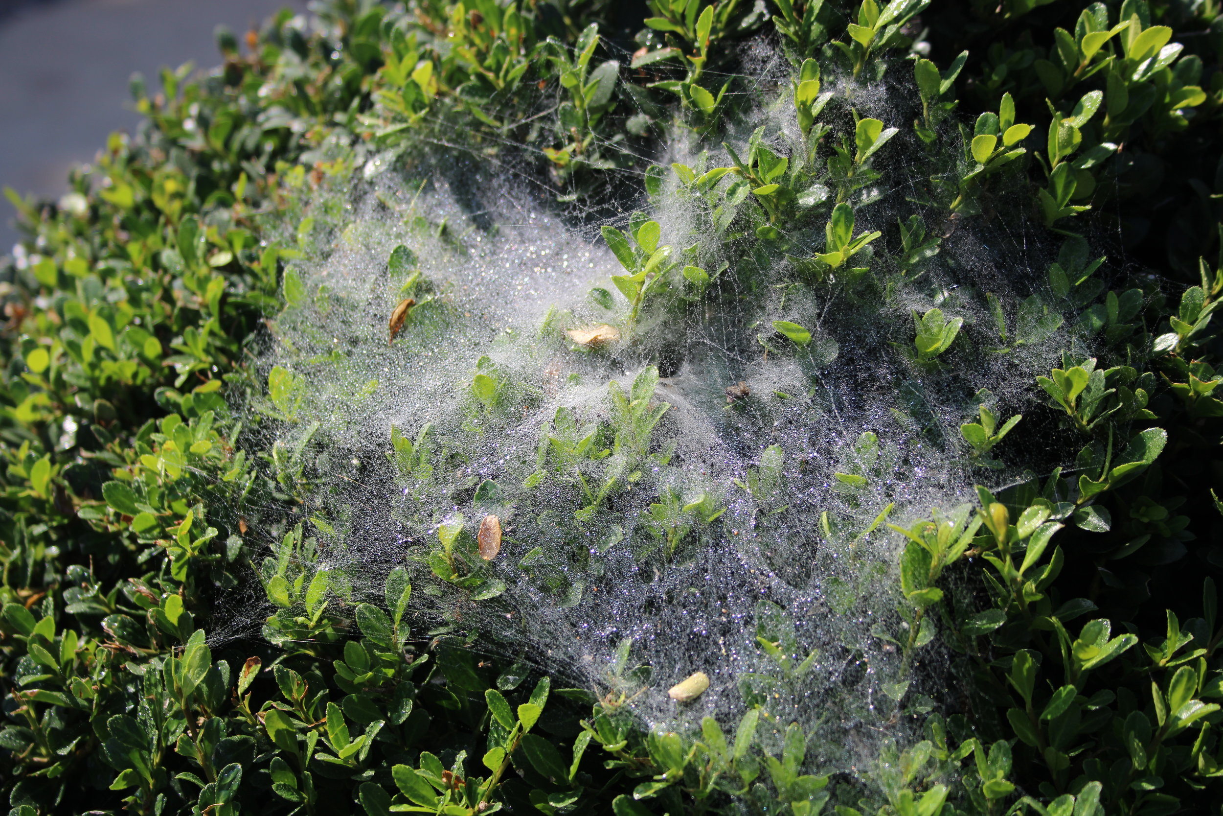 Spider mite webs are obvious on this  Ilex compacta , but a magnifying glass is needed to see the tiny insects.