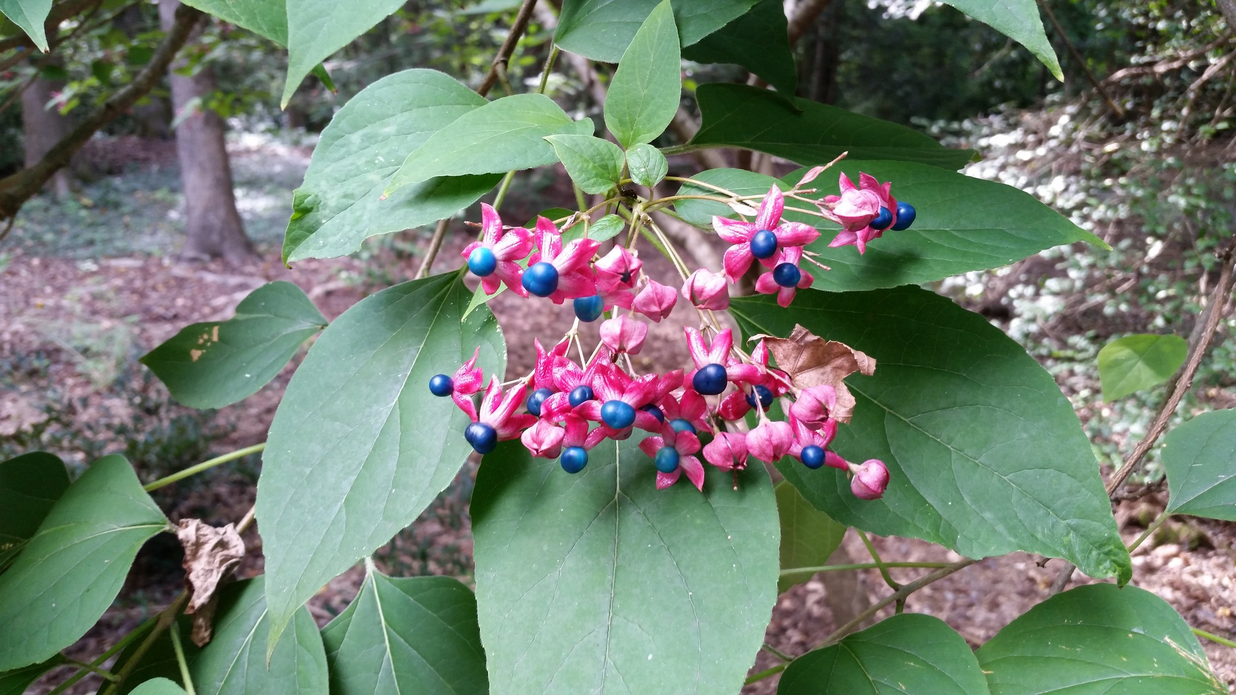 Clerodendrum seeds.jpg
