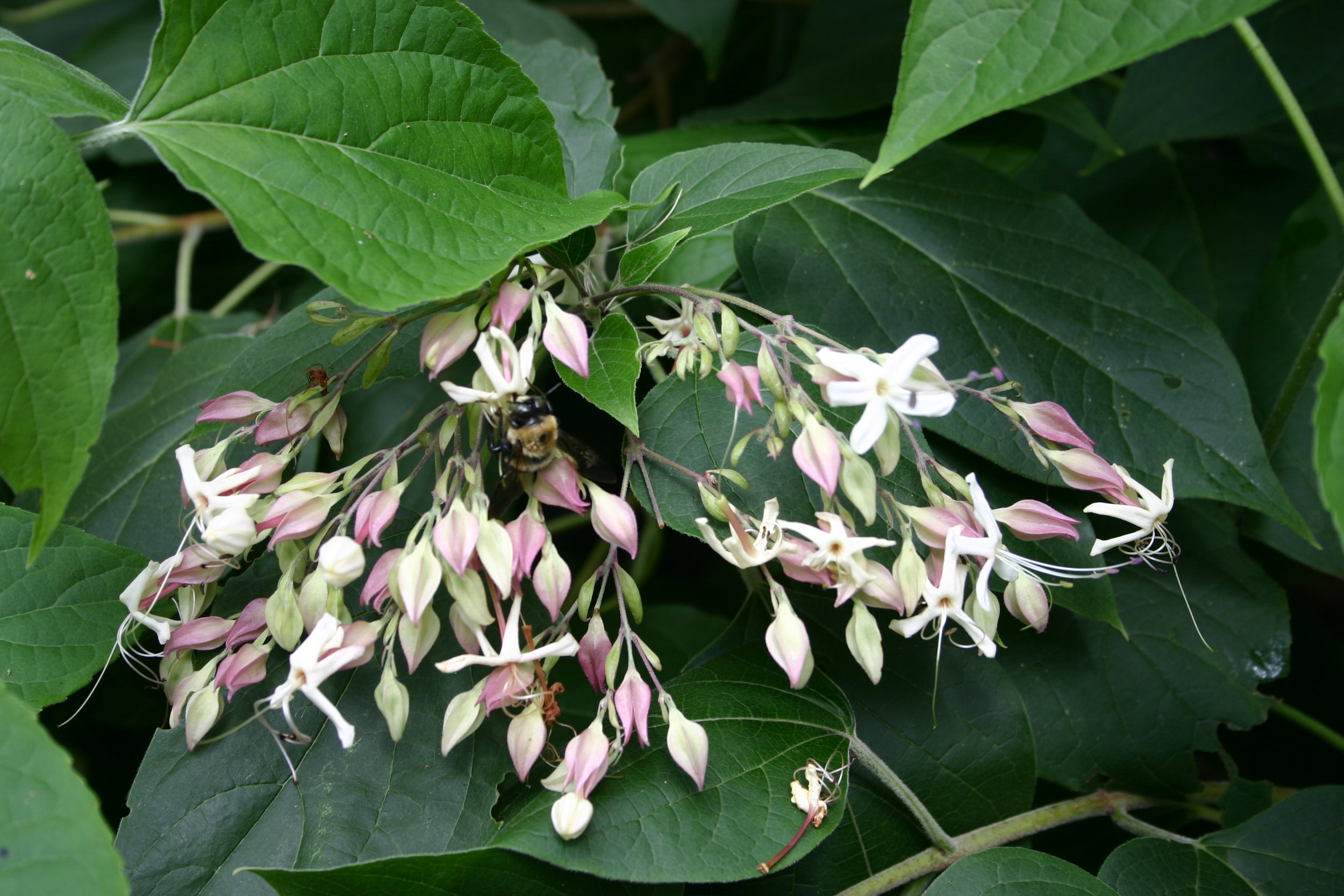 Clerodendrum bloom.jpg