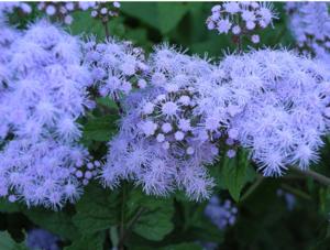 Perennial Ageratum flower
