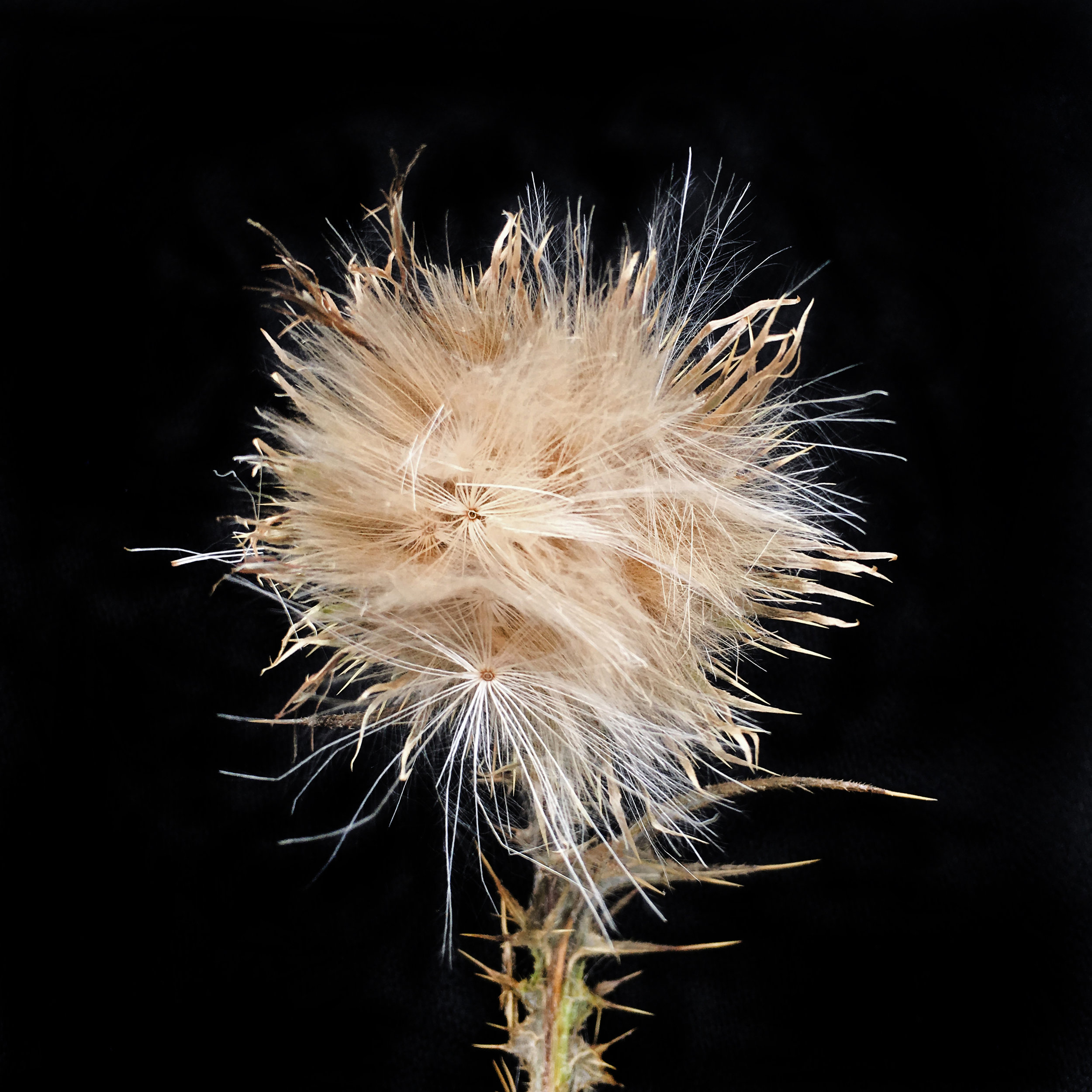 Spear Thistle In seed, Whitsand Bay, Cornwall.