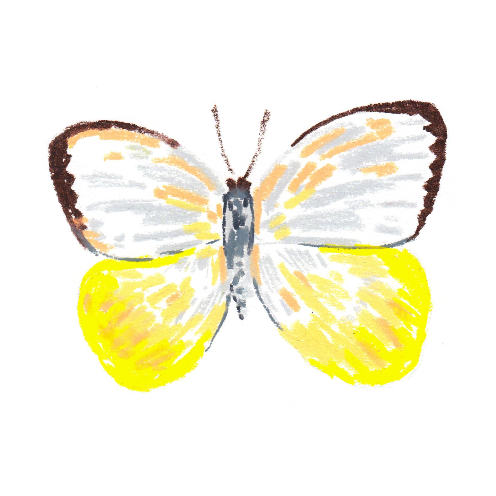 Butterfly catopsilia scylla - AsiaAustralia.jpg