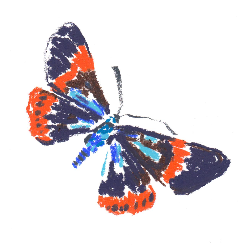 Butterfly Milionia basalis - Asia.jpg
