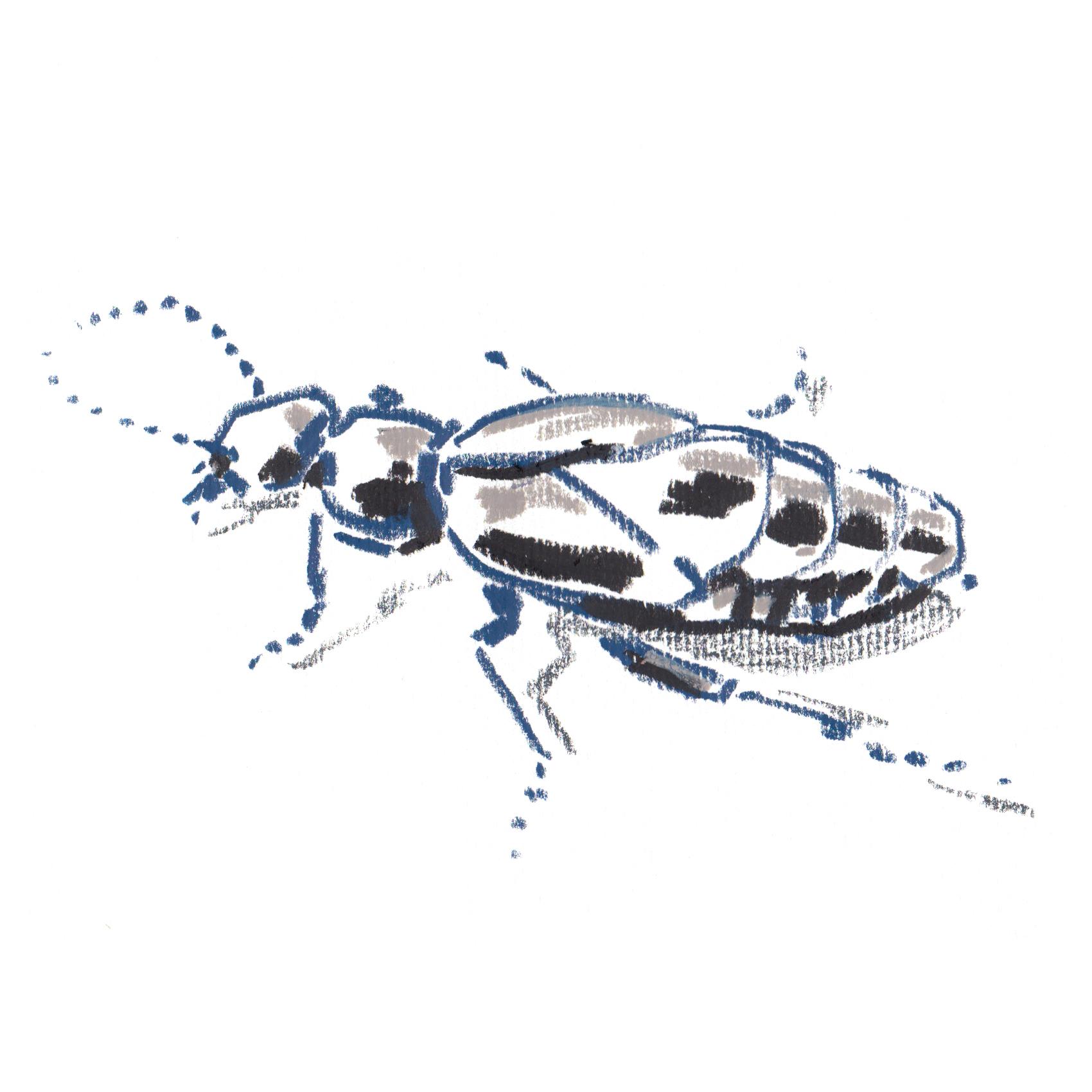 Black Oil Beetle.jpg