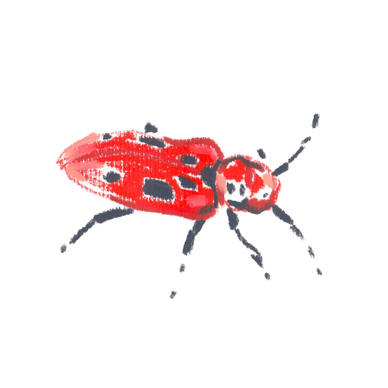 Red MilkWeed Beetle.jpg