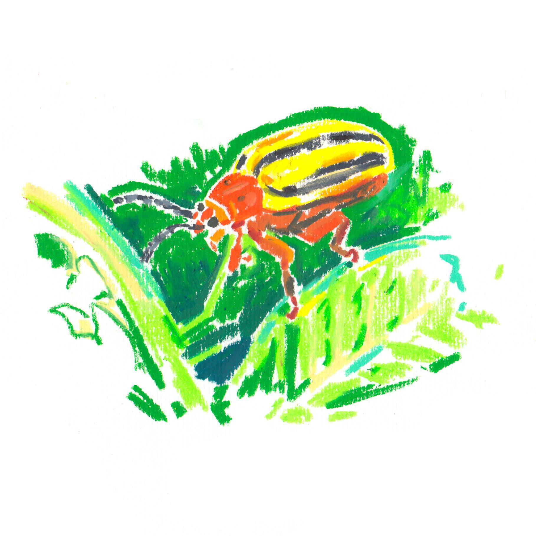 Three Lined Potato Beetle.jpg
