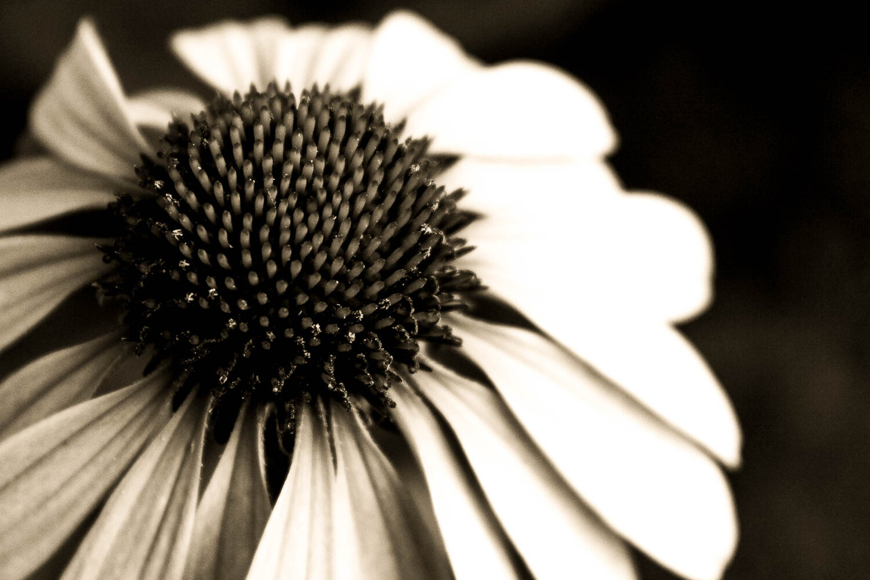 echinacea in gray.jpg