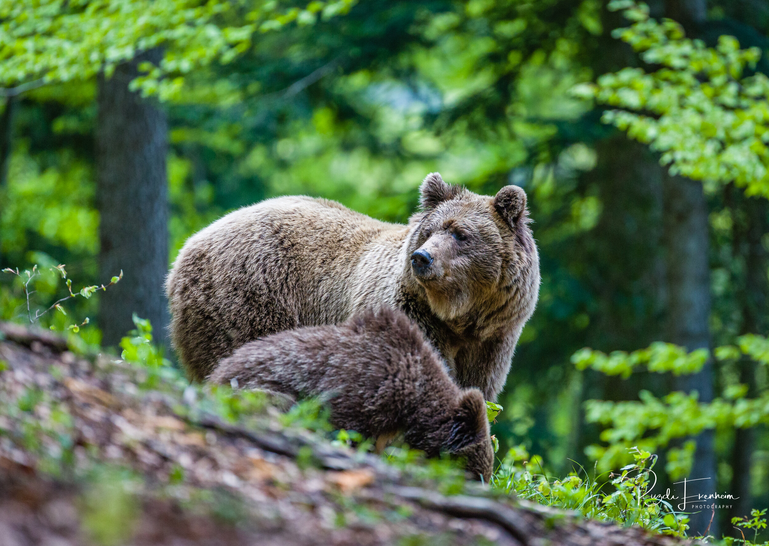 In the deepest parts o the Slovenian forrests you will find Europes largest concentration of brown bears.