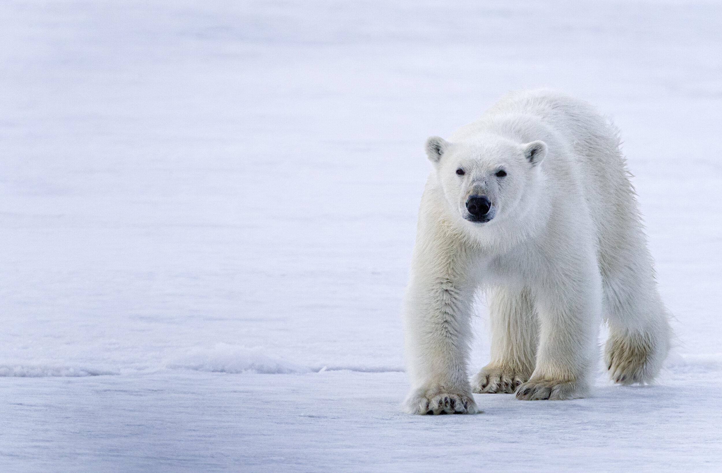 A curious polar bear somewhere in Svalbard