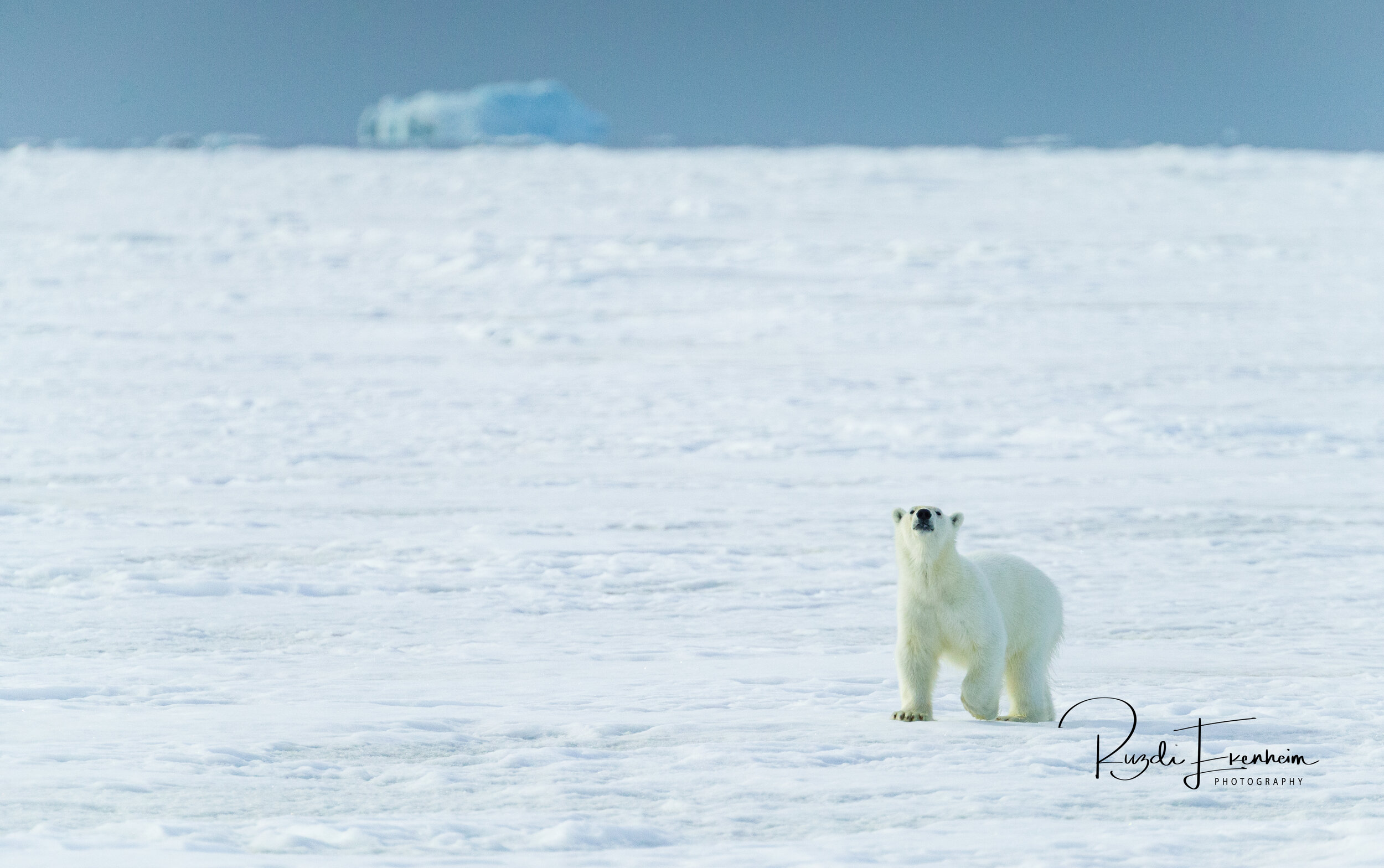 Somewhere in Svalbard this polar bear has noticed my sent