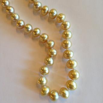 Golden South Sea Cultured Pearls- Pinctada maxima (Golden-lipped) - Golden South Sea Pearls are similar to the white South Sea pearls in their size, lustre, and growing range. The main difference is their color. Golden South Sea pearls range from a soft creamy yellow to a very intense deep golden color. The golden-lipped oyster is mainly grown in the waters of Australia, Indonesia, and the Philippines. It is from the rim of this oyster that the pearls attain their beautiful golden color.