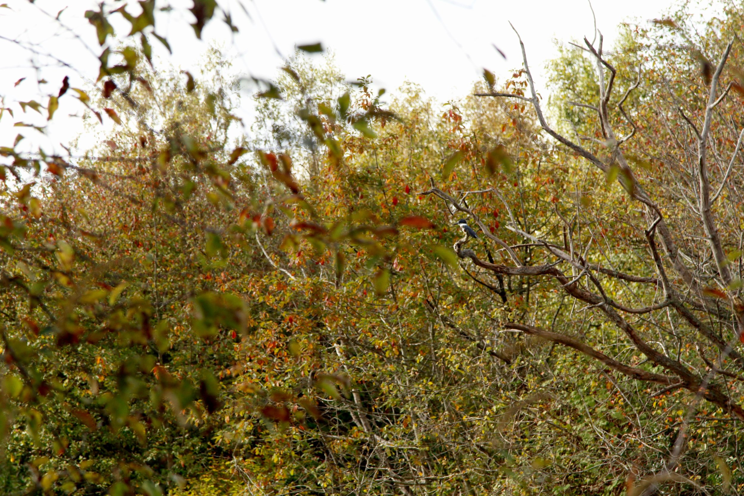 Somewhere in here is a Belted Kingfisher. He's small. Can you see him?