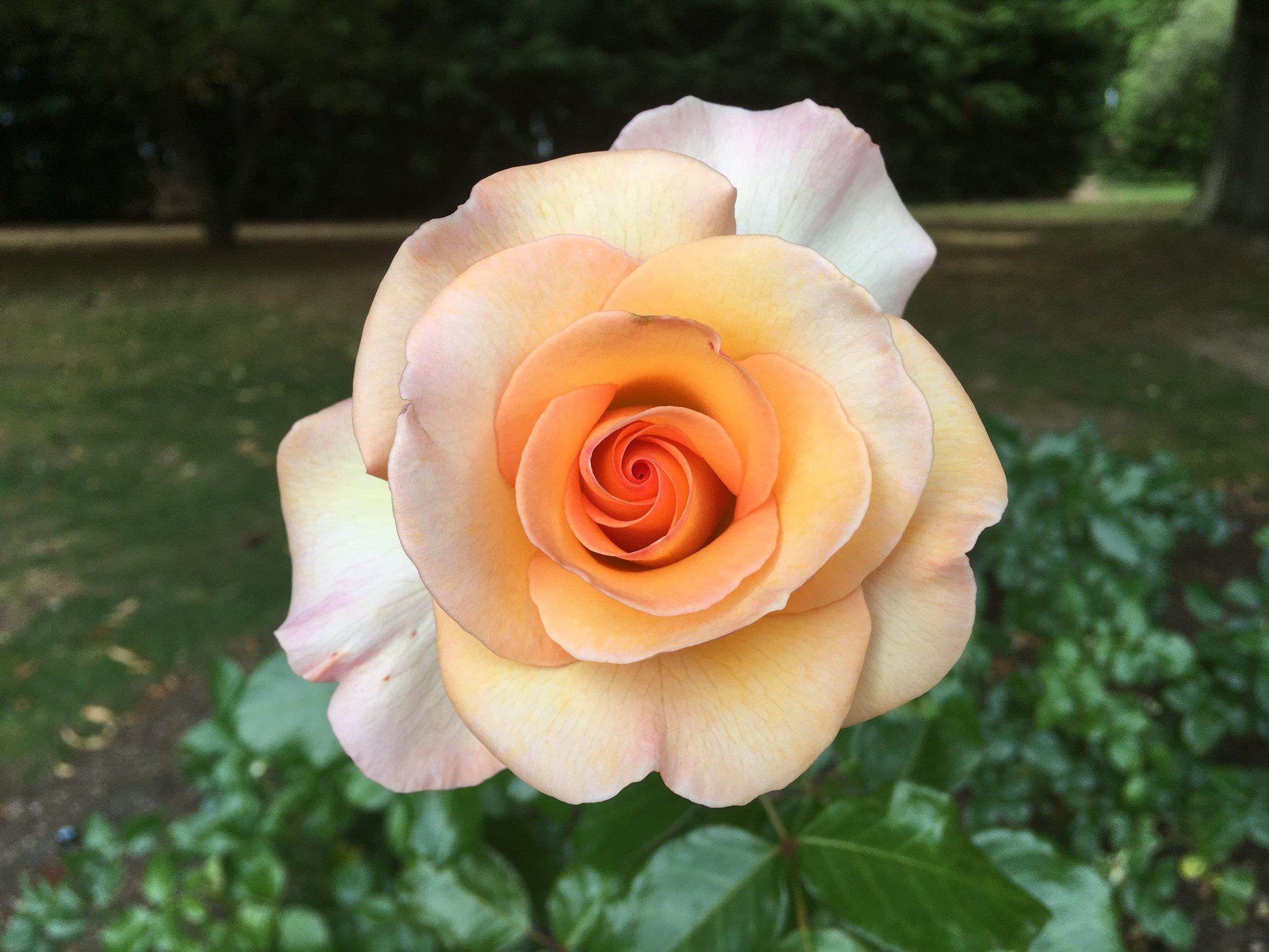 MS12 - IMG_1296 Queenstown Rose Garden.JPG