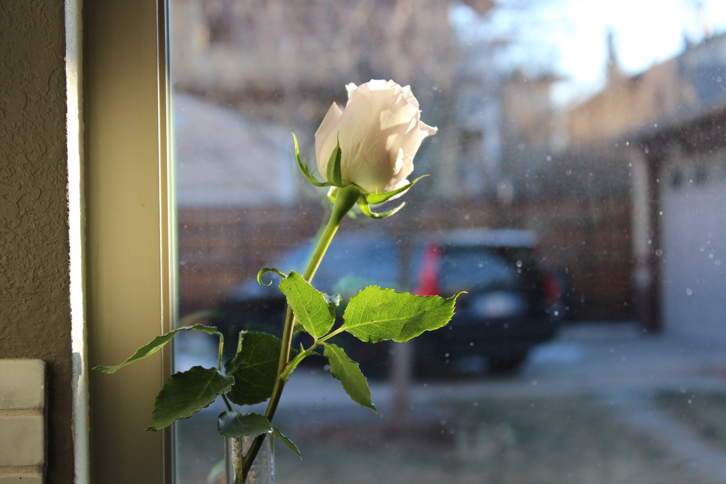 Rose in a kitchen window