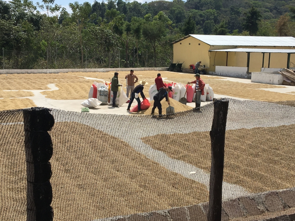 Pergamino coffee drying at the mill.