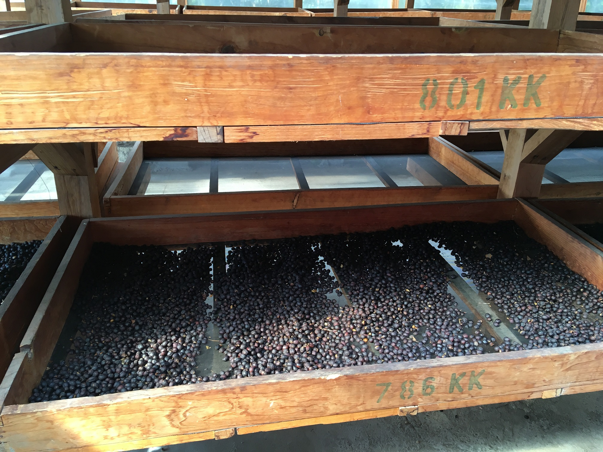 Natural coffee, drying on beds in its fruit