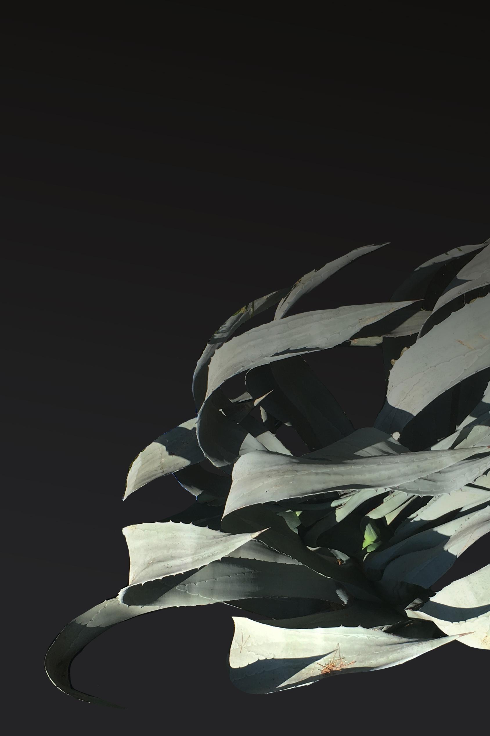 agave in wind v4.jpg