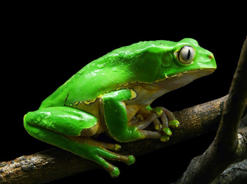 """Kambo is a natural medicine derived from a secretion of the Phyllomedusa bicolor or """"Giant Monkey Frog,"""" native to the Northwestern part of the Amazon Rainforest. Specifically to Colombia, and on the border between Brazil and Peru."""