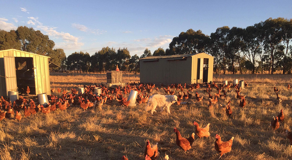 Free Range Chooks The Good Life Farm.jpg