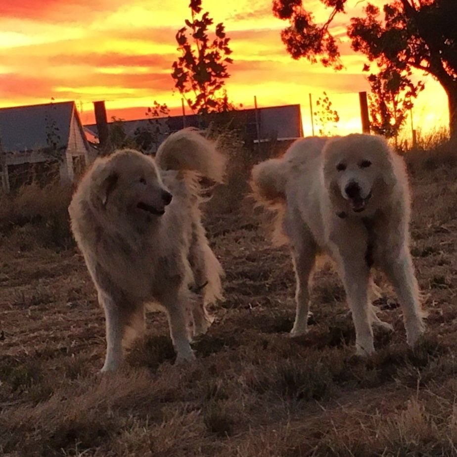 maremma dogs at the good life farm co.jpg