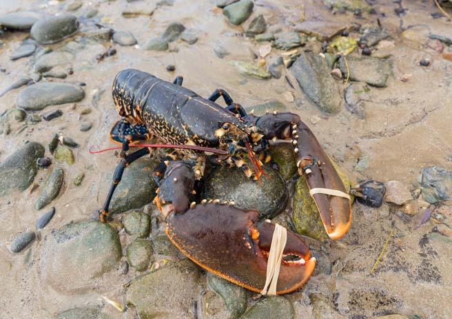 blue lobster 1.jpg