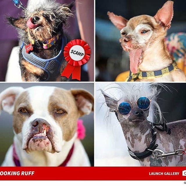 Scamp is officieel het lelijkste hondje ter wereld.  #ugliestdog #biltstraat #fitnessfactory #winners #losers #maaktnietuit #everybodydeserveslove