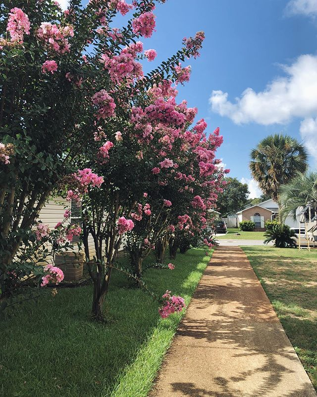 i'm obsessed with these plants (trees??) that are blooming all over town right now. does anyone know what they're called?! 🌸  #experiencepcola #flowerbloom #clpicks #summerflowers #flowergram