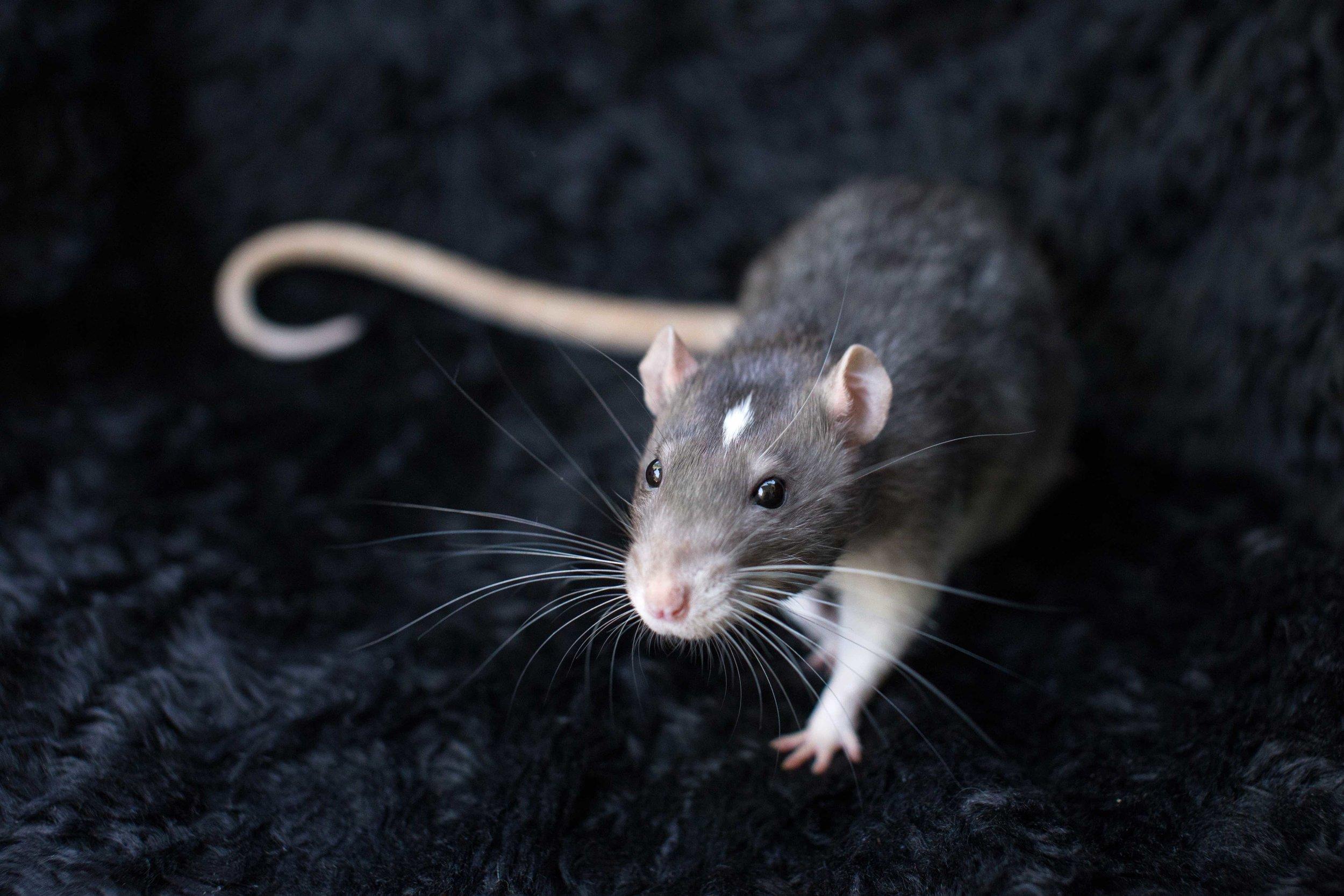 capdouleurnac-veille-scientific-rat