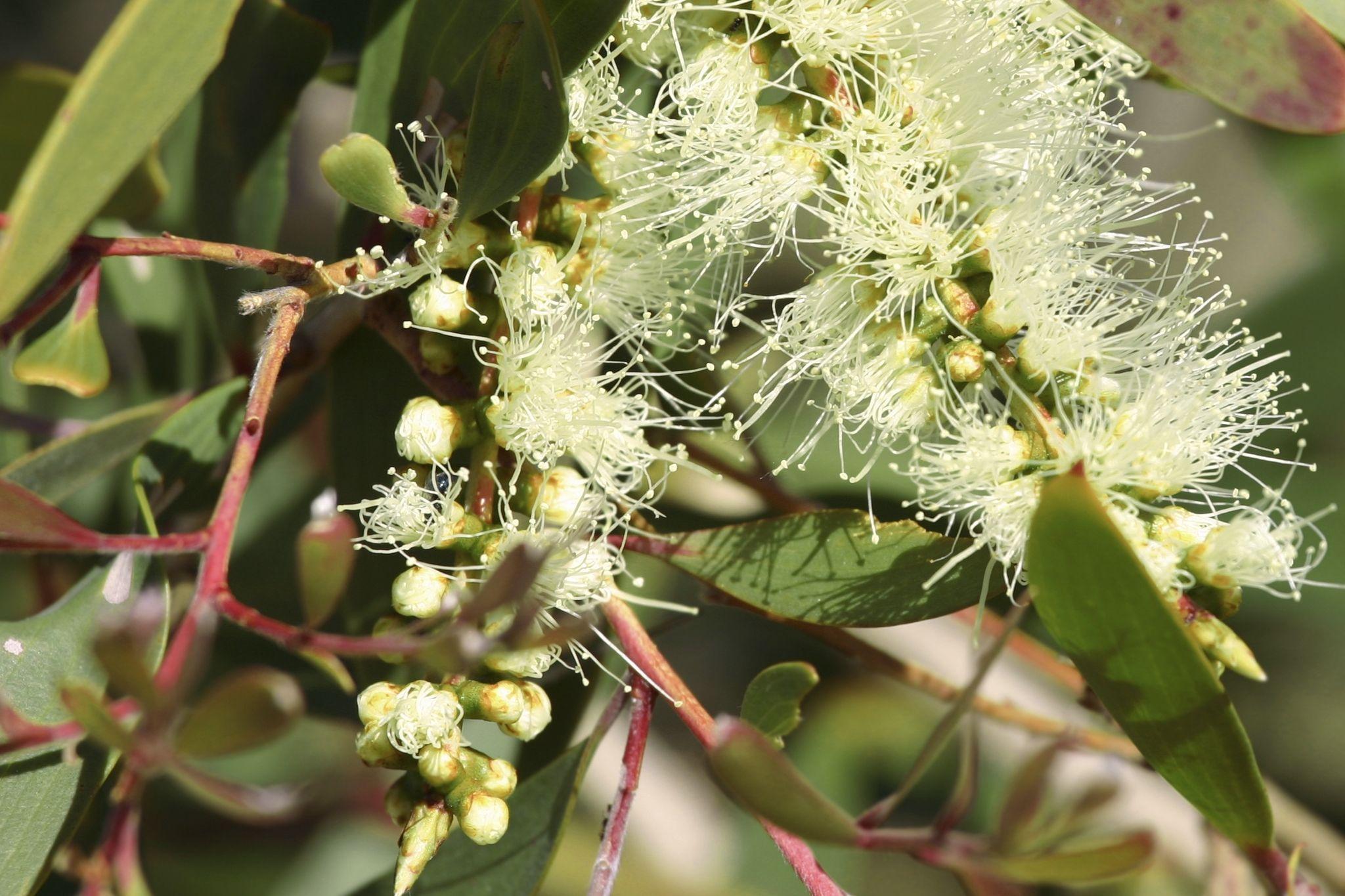 eucalyptus-citronne.jpg
