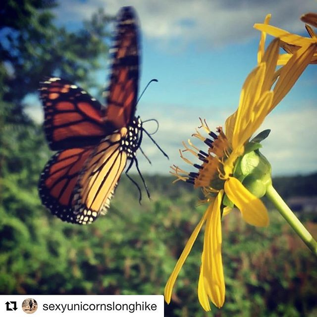 The Monarch Butterflies are out in force around @growbenzie 😍#repost @sexyunicornslonghike with @get_repost ・・・ The monarchs are out in force today. What a join to have about 10 monarch butterflies fluttering around me while I work. ❤🦋 #organicfarming #nospray #flowers #monarchbutterfly #monarchs #butterfly #butterflies #puremichigan #michigan