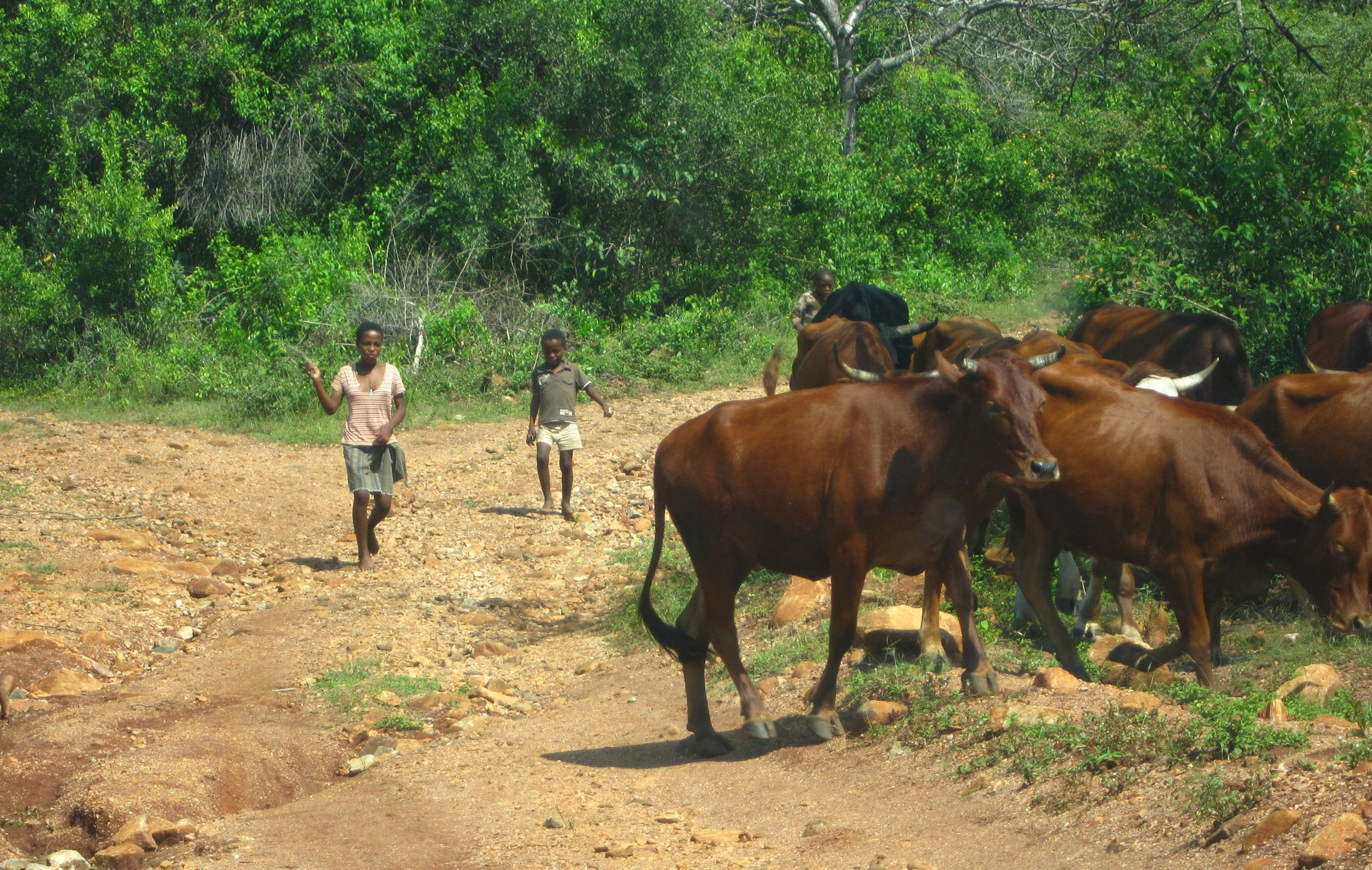 Rocket Kids children herding cattle.jpg